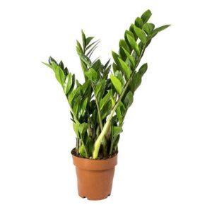 Zamioculas plante zz