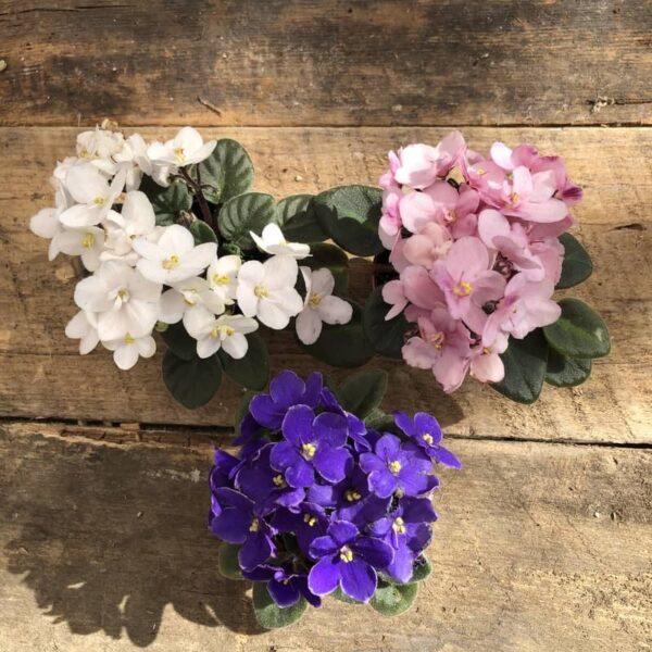 Violet Africaine mini