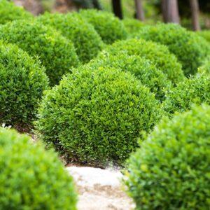 buxus Green Velvet