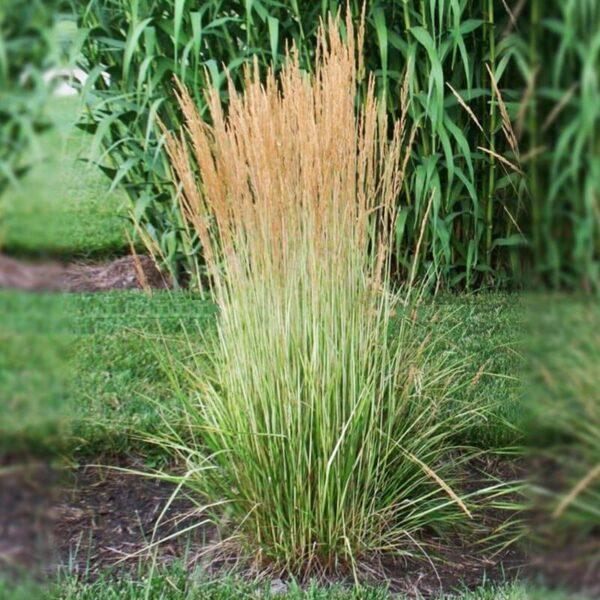 calamagrostis Karl Forester