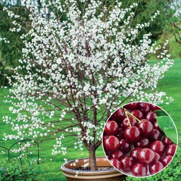 cerisier romeo
