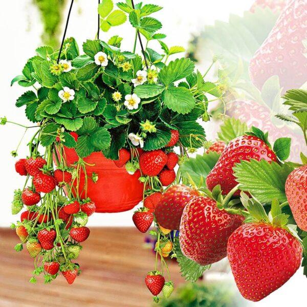 fraisier bio