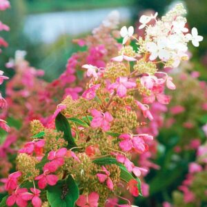 hydrangea burgundy lace