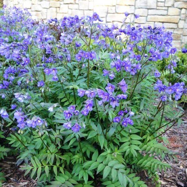 pulemonium purple rain