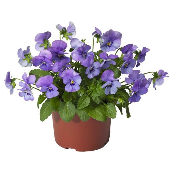 viola colombine