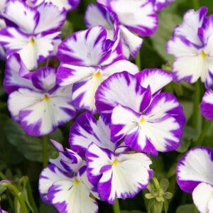 viola rebecca